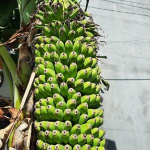 住宅地に圧巻なバナナ