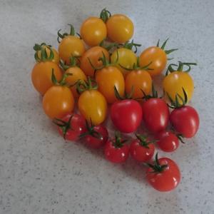 トマトの収穫 31--- 53 個目