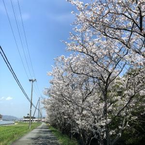 超長い桜並木
