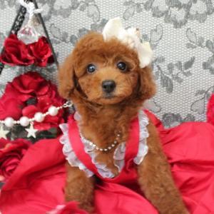 本日 お引き渡しの女の子 7月6日生まれ 1番ちゃんプードル子犬販売 SWEET DOG