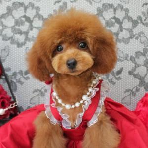 飼い主様 募集中 令和元年1日目生まれ プードル女の子 交配犬プードルSWEET DOG