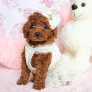 飼い主様 募集!2019年8月28日生まれ 小さな可愛い女の子 トイプードル子犬販売