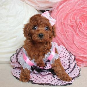 飼い主様募集!2019年8月28日生まれ小さな可愛い女の子*マリンマカロンちゃんプードル子犬販