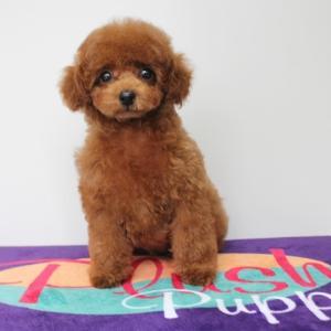 メロンくん 生後75日目 トリミング! ★岡山県プードル子犬販売 SWEET DOG
