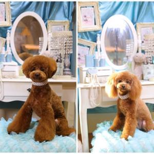 ハニくん コロンちゃん兄妹でトリミング くららも! ★岡山県プードル子犬販売 SWEET DOG