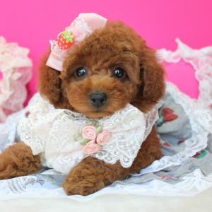 本日 お引き渡しのいちごちゃん1月5産まれ岡山県プードル専門ブリーダー子犬販売SWEET DOG