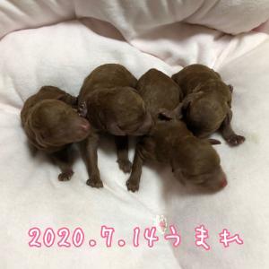 ねねちゃんbaby生まれました♪ SWEET DOG岡山県プードル専門子犬販売ブリーダー