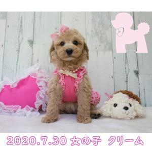 お買い得!プードル女の子7月30日産まれSWEET DOG岡山県プードル専門ブリーダー子犬販売