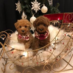 新着 プードル子犬のご紹介  SWEET DOG岡山県プードル専門ブリーダー子犬販売