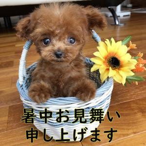 暑中お見舞い申し上げます!SUMMER SALEプードル子犬販売SWEET DOG岡山ブリーダー