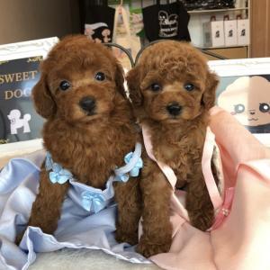 6月17日産まれトイプードル子犬 SUMMER SALEプードル子犬販売SWEET DOG岡山