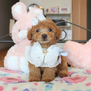 販売中プードル可愛い女の子3頭SWEETDOG岡山県倉敷市プードル専門ブリーダー子犬販売