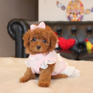 プードル小さな可愛い女の子1頭販売中SWEETDOG岡山県倉敷市プードル専門ブリーダー子犬販売
