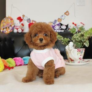 プードル小さな可愛い女の子1頭販売中SWEETDOG岡山県倉敷市プードル専門ブリーダー