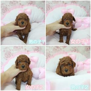 7月6日生まれ4つ子ちゃん生後27日目 販売中子犬ちゃん女の子1頭 SWEET DOG岡山