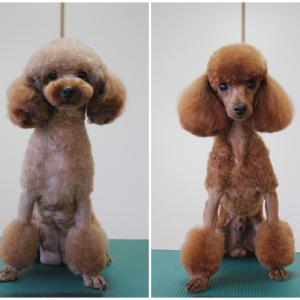 ねね フラン 7月6日生まれ4つ子ちゃん 販売中子犬ちゃん女の子1頭 交配犬 SWEET DOG