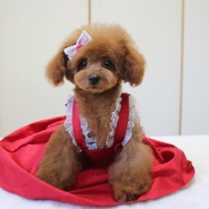 れわちゃん100日目 7月6日生まれ4つ子ちゃん なつくん 交配犬プードルSWEET DOG岡山