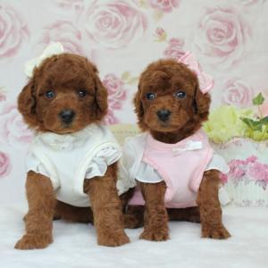 生後35日目のプードル女の子2頭 5月1日生まれ女の子 交配犬プードルSWEET DOG岡山