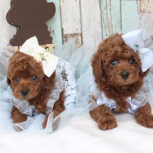 生後37日目のプードル男の子2頭 5月1日生まれ女の子 交配犬プードルSWEET DOG