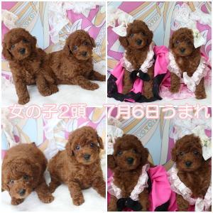 生後42日目のプードル子犬4頭 5月1日生まれ女の子 交配犬プードルSWEET DOG