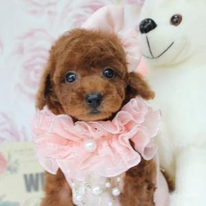 プードル子犬販売 7月6日生まれ 女の子 1番ちゃんのご紹介 SWEET DOG岡山