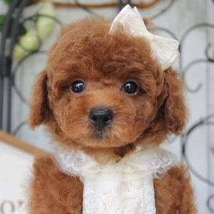 プードル子犬販売 7月6日生まれ 男の子 1番くんのご紹介 SWEET DOG岡山