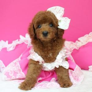 プードル子犬販売 7月6日生まれ 女の子 2番ちゃんのご紹介 SWEET DOG岡山