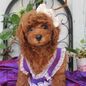 プードル子犬販売 7月6日生まれ 男の子 2番くんのご紹介 SWEET DOG岡山