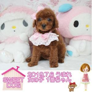 プードル子犬販売中 7月6日生まれ 男の子2頭 女の子2頭 SWEET DOG岡山