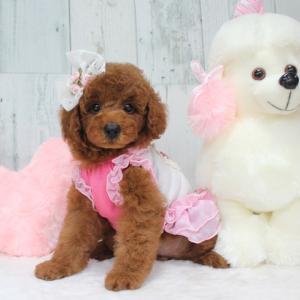 本日 お引き渡しの女の子 7月6日生まれ 2番ちゃん ★ハニくん SWEET DOG岡山
