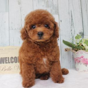 販売中の子犬くん 7月6日生まれ 1番くん 可愛い男の子 プードル子犬 SWEET DOG岡山