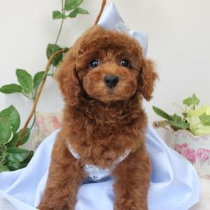 明日 お引き渡しの男の子 7月6日生まれ 2番くんプードル子犬販売 SWEET DOG岡山