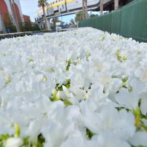 舞浜のツツジの花