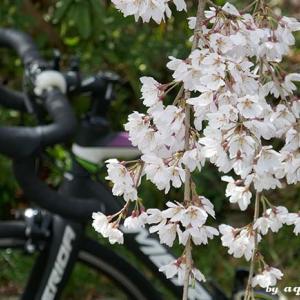 花見ポタ … 甲山-北山貯水池