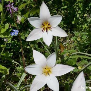 花見ポタ … 北山緑化植物園-夙川オアシスロード