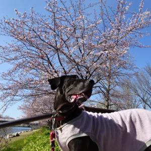 やっと桜が咲きはじめたよ♡