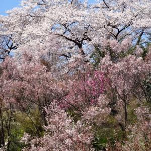 この春の花見山