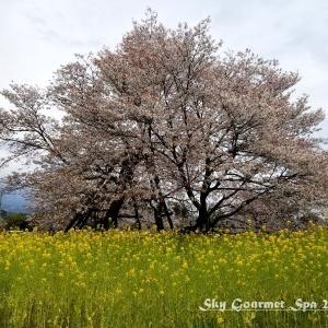 ◆ 日本五大桜の狩宿下馬桜、その3「狩宿の下馬桜」へ(2020年3月)