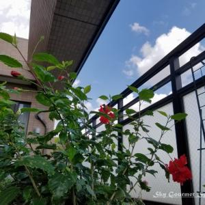 ◆ 「ハイビスカス フラミンゴ」がたくさん咲いた日(2021年9月)