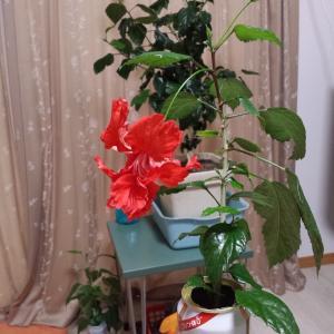 ◆ 「オールフリー」で開花したハイビスカス(2016年4月)