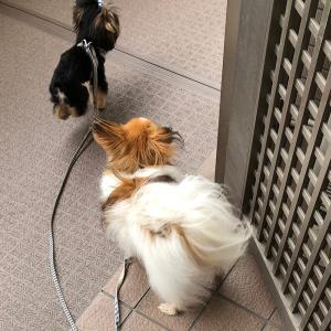 パピヨンと仔犬のヨークシャテリアと散歩