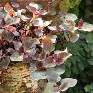 リシマキア ペルシアンチョコレート