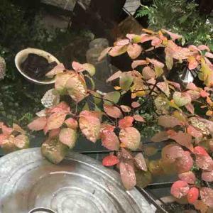 スモークツリー紅葉始まる