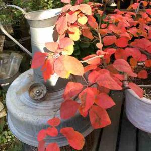 スモークツリーの紅葉