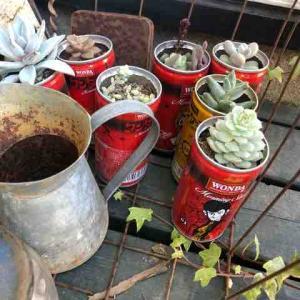 ルパン缶の多肉たち