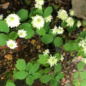 やたらと咲いた緑八重バイカカラマツソウ
