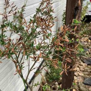 オリーブの枯枝を剪定