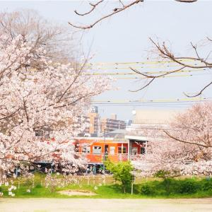 石手川沿いに咲く桜