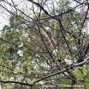 ●季節外れの桜?