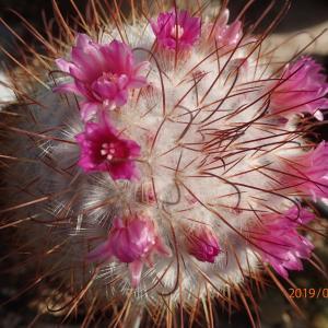 最近咲いたサボテンの花